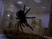 пауки птицееды,  скорпионы